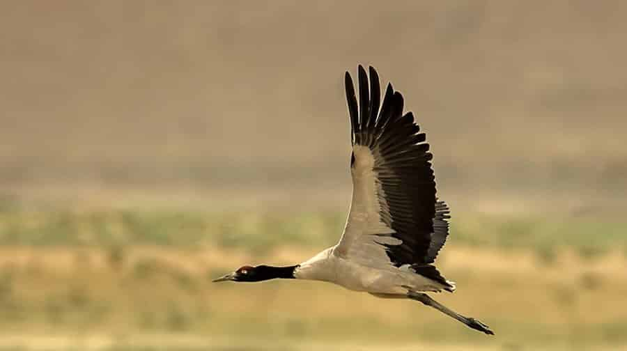 Black Necked Crane Information Center
