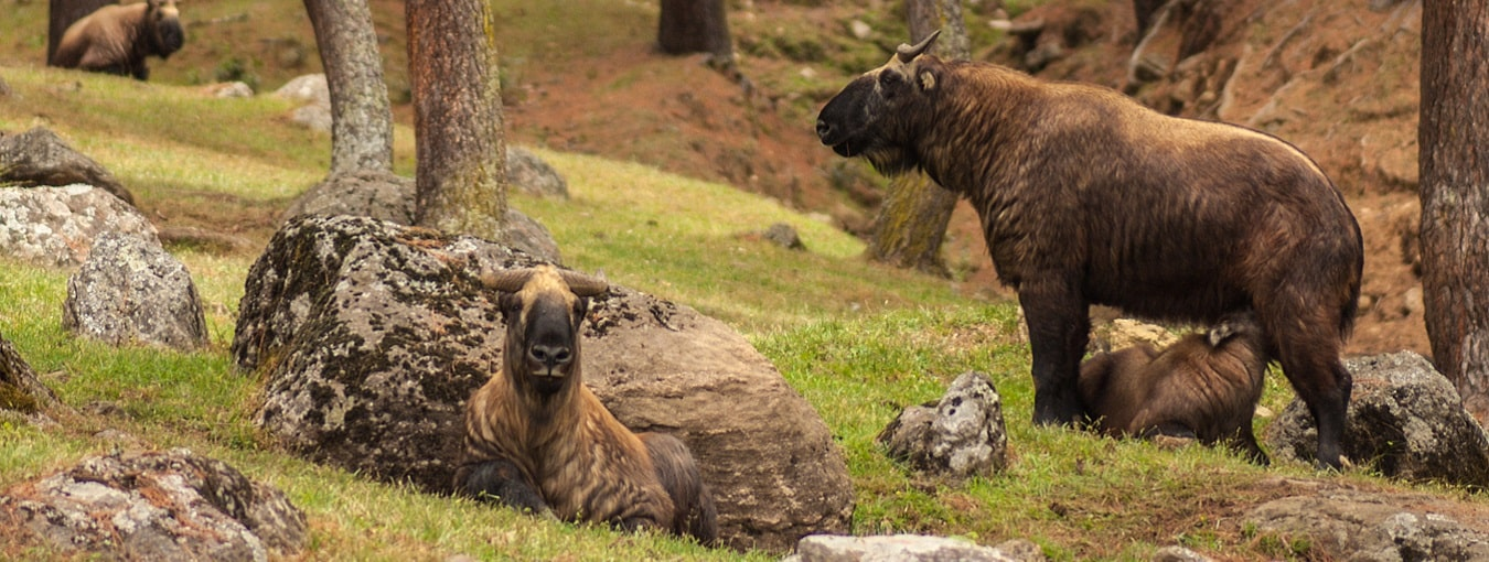 National Takin Reserve Center in Thimphu